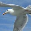 Seagull - (C) David Heys