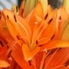Lillies - (C) David Heys