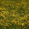 Summer Buttercups - (C) David Heys