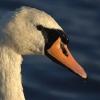 Evening Swan - (C) David Heys