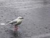 Wet Seagull