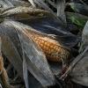 Golden Harvest - (C) David Heys