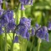 Bluebells - (C) David Heys