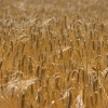 Fields of Gold - (C) David Heys
